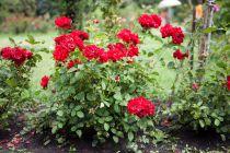 Cómo Plantar y Trasplantar Rosales