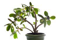Consejos para el cuidado y mantenimiento de la planta del dinero o dolar. Tips para cultivar una planta del dinero o dolar.