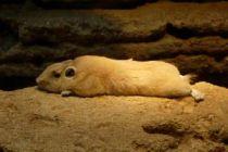 Cómo saber si un hámster está hibernando o está muerto