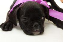 Cómo dar la leche a un cachorro recién nacido