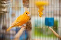 Como cuidar un canario. Consejos para el cuidado de un canario. Cómo elegir la jaula del canario.