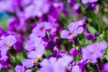 Como cuidar una violeta