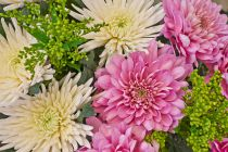 Como cuidar los crisantemos