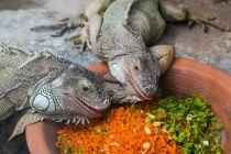 Cómo Cuidar a una Iguana de Mascota