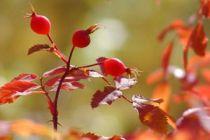Beneficios y propiedades del té de rosa mosqueta. Características de la rosa mosqueta. Beneficios de consumir té de rosa mosqueta