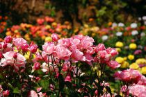 Cómo Cuidar los Rosales
