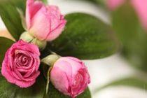 Cómo Eliminar los Pulgones de las Rosas