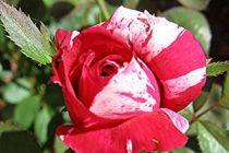 Cómo evitar que los hongos ataquen los rosales