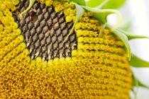 Cómo recolectar las semillas del jardín