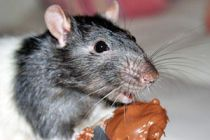 Remedios caseros para Ahuyentar Ratas