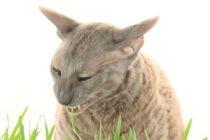 Qué hacer si el gato se queda afónico