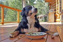 Cómo alimentar a perros ancianos