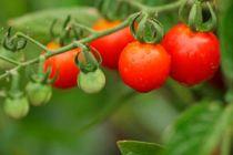 Propiedades del tomate
