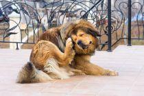 Cómo Saber si tu Perro tiene Sarna