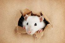 ¿Qué Significa Soñar con Ratas?