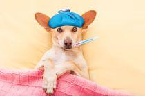Métodos para saber si el perro tiene fiebre. Cómo detectar fiebre en los perros. Síntomas de fiebre en los perros
